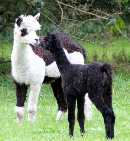 alpaca uld